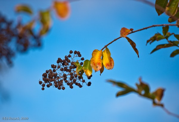 Fort-Christmas_DSC3951_Crepe Myrtle berries and leaves - autum in Florida