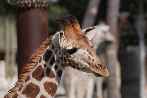 Giraffe im Zoo de La Palmyre