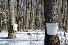 Where maple syrup comes from (0307)