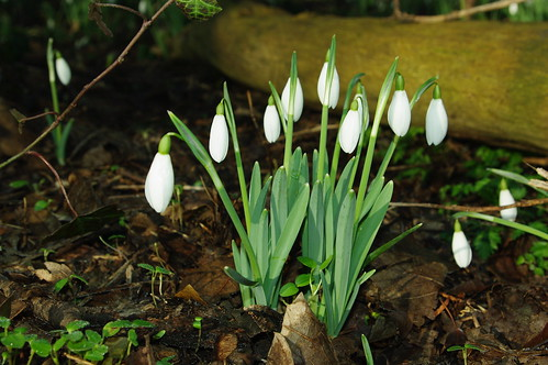 20100220-04_Snowdrops near Wolston community centre by gary.hadden