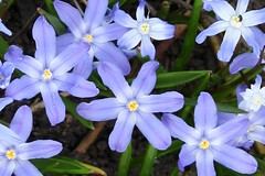 Chionodoxa spp 'Glory-of-the-Snow'