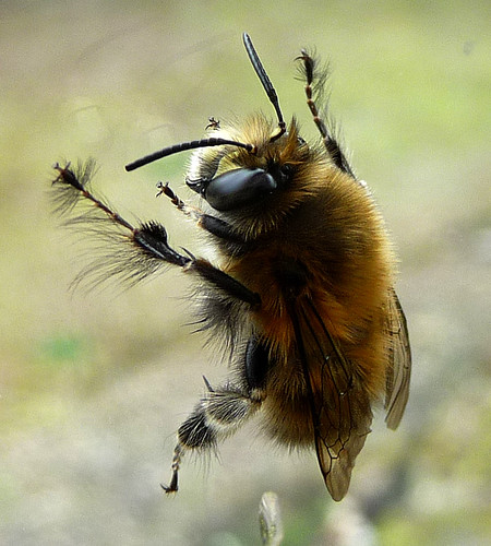 Male Hairy-footed Bee. Anthophora plumipes