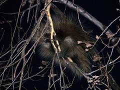 Porcupine at Sunset
