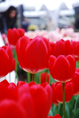 Bold Red Tulip