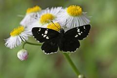 新治市民の森のダイミョウセセリ(Butterfly, Niiharu Community Woods, Yokohama, Kanagawa, Japan, 2011)