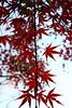 Photo:Mukojima Hyakkaen Autumn Leaves - 04 By