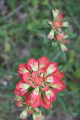 Indian Paintbrush (Castilleja linariaefolia)