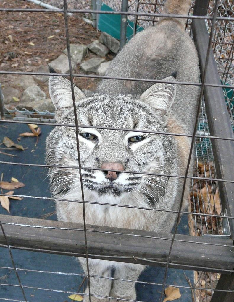 Flirty Arigato - SW Bobcat - L. rufus baileyi (Merriam)