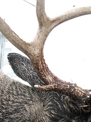 antler of a large buck shot on the mountain