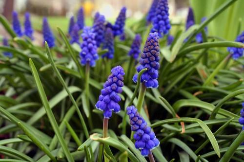grape hyacinths abloom
