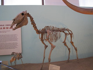 EXTINCT HORSE
