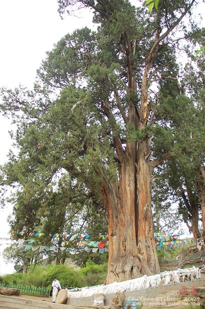 西藏林芝世界柏樹王園林08.jpg