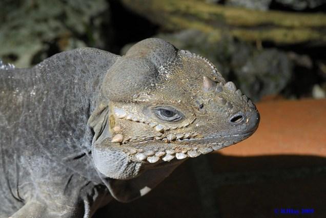 Rhinoceros Iguana - Punta Cana