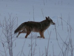 bonus fermilab species: coyote