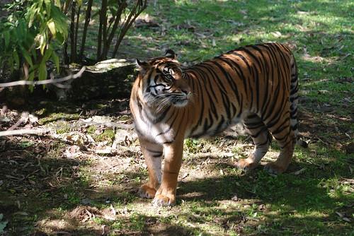 Sumatra Tiger im Zoo des Doué-la-Fontaine