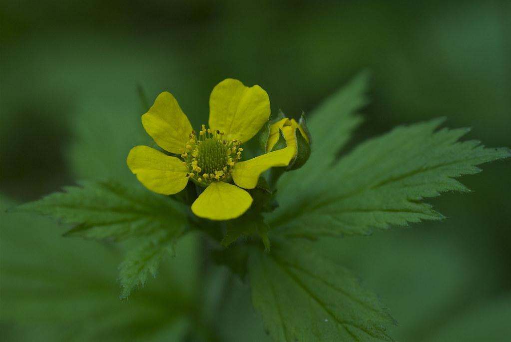 High Mountain Cinquefoil