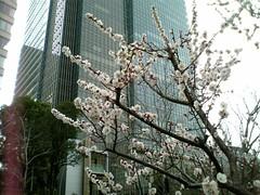 檜町公園の梅(Japanese Apricot at Hinokicho park, Japan)