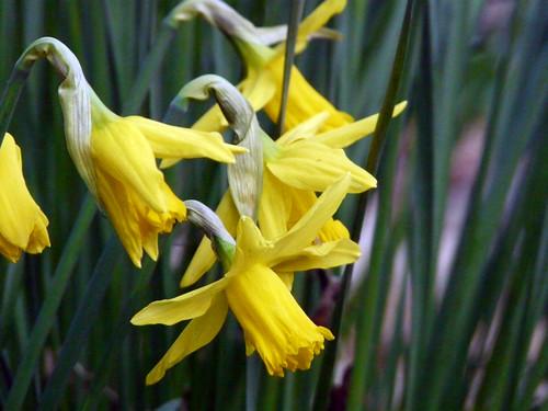 ron's daffodils