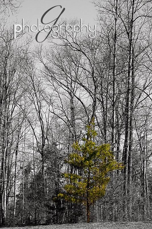 selective color pine