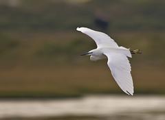 Little Egret landing approach