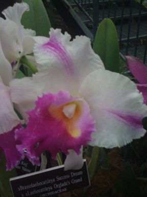 Brassolaeliocattleya Success Dream x Laeliocattleya Orglade's Grand