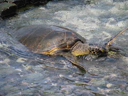 Turtle at Pu'uhonau o Honaunau