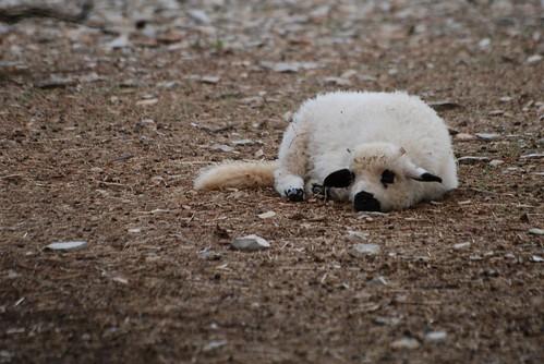 Gramat Schaf im Parc animalier de Gramat