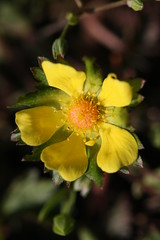 新治市民の森のミツバツチグリ(Potentilla freyniana at Niiharu civic forest, Japan)