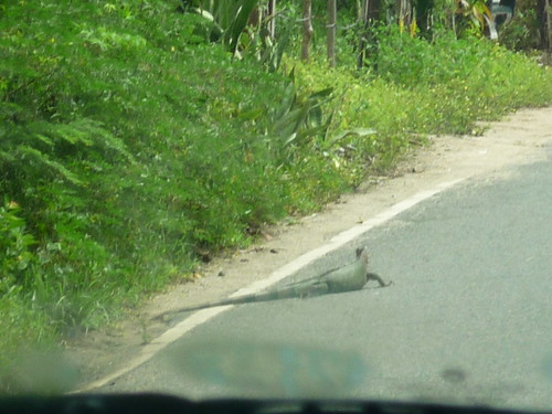 An iguana at the side of the road, Vieques