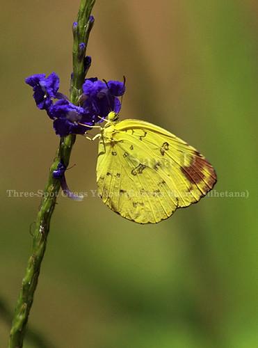 Butterflies of Sri Lanka, Species No 44