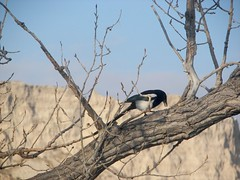 Magpie in tree behind my kitchen