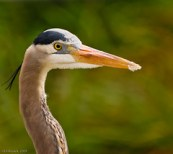 A great blue heron portrait