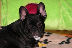 Dwight, a dark or 'seal' brindle French Bulldog