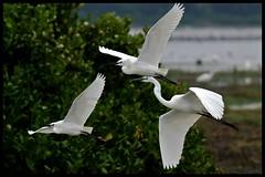 Three Egrets in Flight