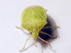 Pentatomidae>Acrosternum hilare? Green stinkbu...
