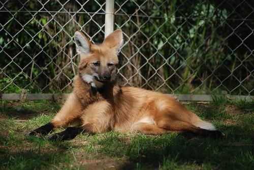 Mähnenwolf im Zoo de Doué-la-Fontaine