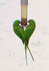 Male and Female Ring-Necked Parakeets Enjoying...