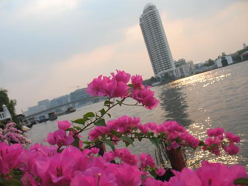 Sakura on the Chaopraya
