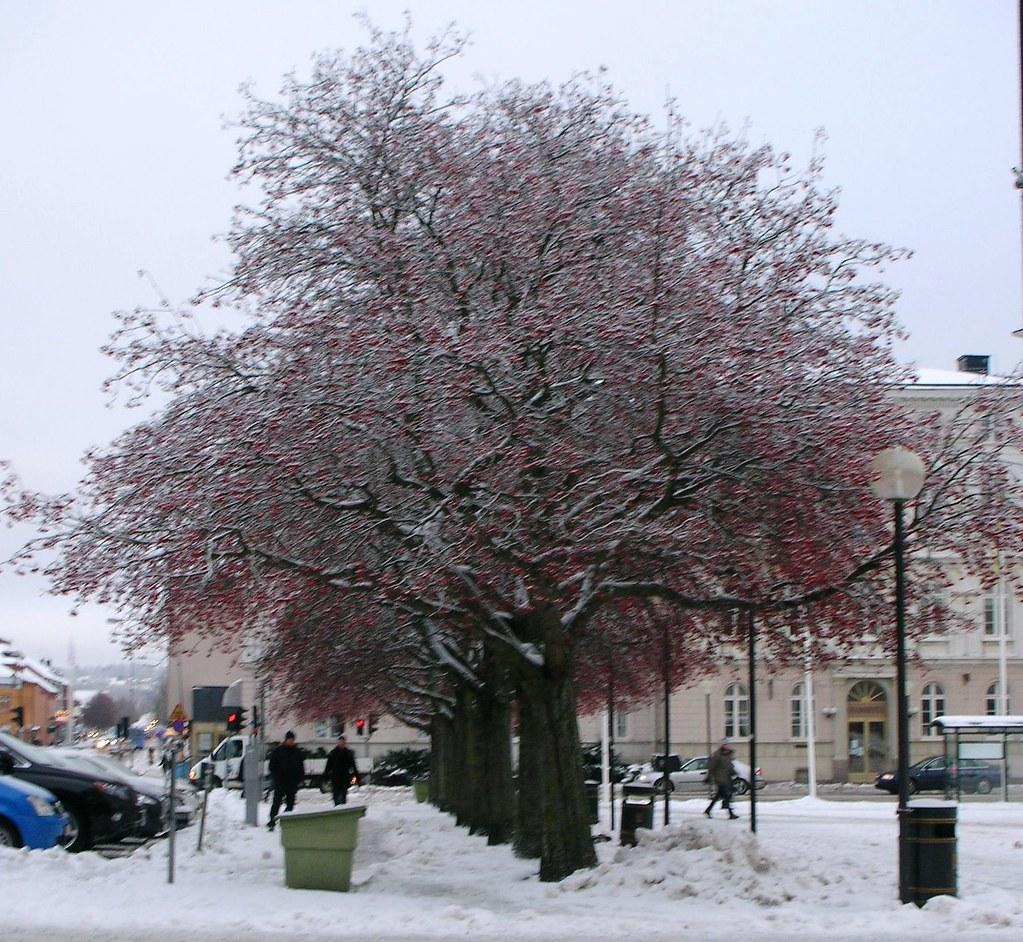 Snowy trees in Mariestad