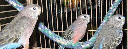 Bourkes Parakeets Louise Huey Dewey