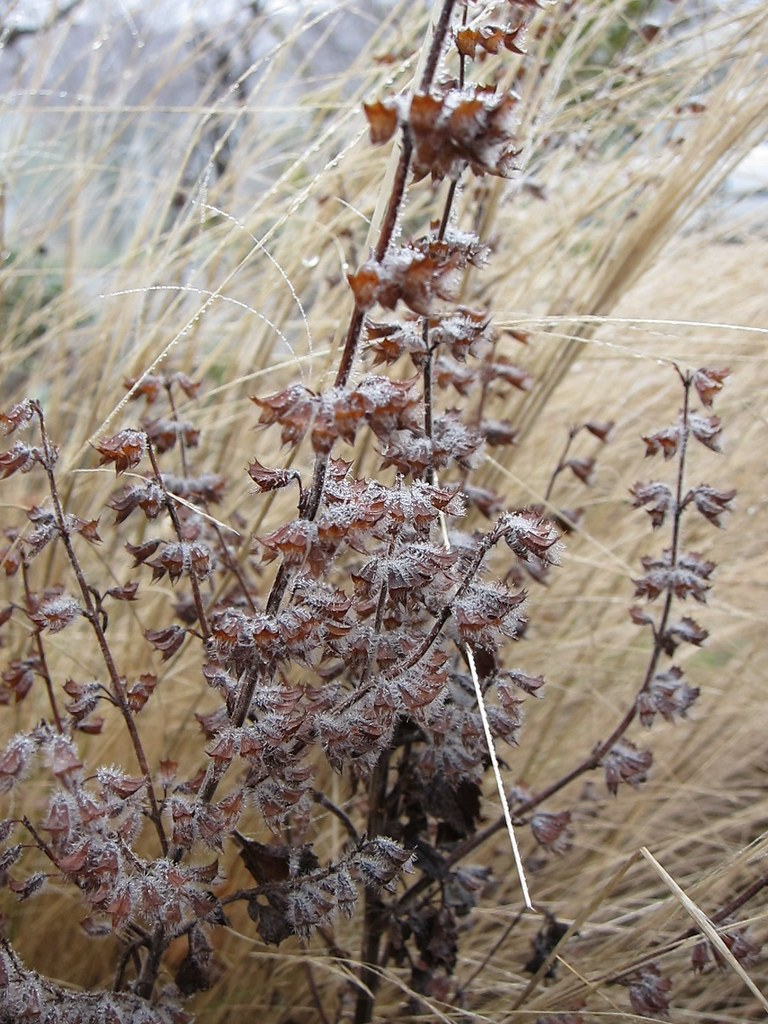 Lemon balm seedheads against Mexican feather grass