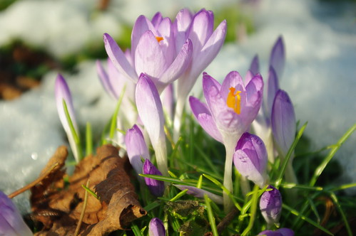 20100220-35_Crocus in the snow - Bilton Green Rugby by gary.hadden