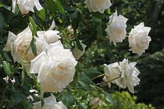 泉の森(ふれあいの森)のバラ(Rose, Izuminomori park, Yamato, Kanagawa, Japan)