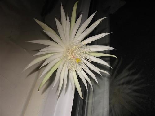orchidcactus (5)