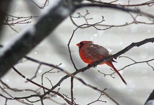 Cardinal braving the snow