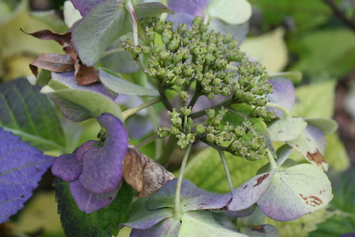 fall french hydrangea