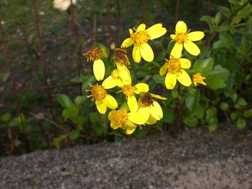 fiori rampicante
