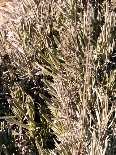 Mature Grosso lavender