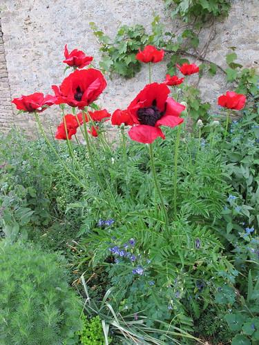 poppy Kelmscott manor 05 2011 by mudandmiscellany