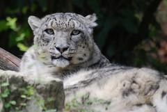Schneeleopard im Parc zoologique et botanique de Mulhouse